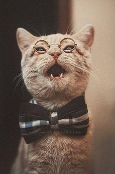 puss, funny cat, harry potter. #animals #awesome #bow #cat #cool #cute #glasses #harry #kitten #kityy #love #lovely #nerd #puss #stady #student #swag