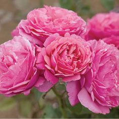 """Dee-lish"" hybrid tea rose, new for 2014. Looks like heirloom cabbage rose, has strong fragrance, grows on its own root stock. WANT! Rosemania.com"
