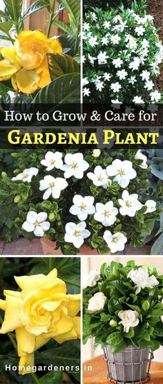 how to take care of euphorbia plant