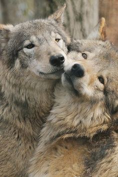 The gaze of the wolf reaches into our soul ~ Barry Lopez. S)