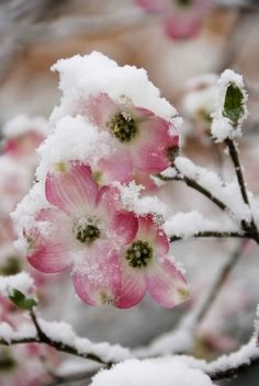 Late Snow on Blooms of Dogwood Tree