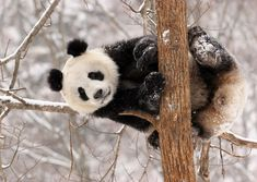 This is a selection of some of the most amazing Panda photographs out there. Will definitely make you to want to become a Panda yourself! most of them from the Panda Research Base in Chengdu. Panda In Snow, Niedlicher Panda, Bored Panda, Panda Bears, Wild Panda, Cute Panda Wallpaper, Animal Wallpaper, Image Panda, Panda Mignon