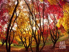 Autumn Foliage of Japanese Maple (Acer) Tree, England, Uk Photographic Print by Jon Arnold at Art.com