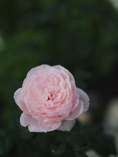 'Queen of Sweden' |  Shrub.  English Rose Collection. Bred by David C. H. Austin (United Kingdom, 2004) | Flickr -  © Polotaro