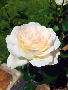 Addictive Lure ~ Shrub Rose