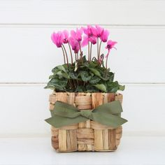 Cyclamen in Seagrass Basket by Green Thumb Gifts Potted Plants, Cactus Plants, Plants Online, Green Gifts, Gifts For Mum, Flower Delivery, Lush, Hand Weaving, Planter Pots
