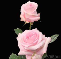 Wholesale Pink Roses | Buy Fresh Cut Bulk Pink Roses at WholeBlossoms