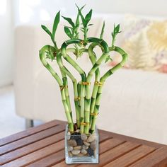 bambu in vaso - Cerca con Google