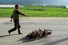 Photograph by Michael Yamashita. @yamashitaphoto - Sure sign of #spring: Taking the #ducks for a walk in #Yunnan Province. #springfever #springtime #Kunyang #China @natgeocreative @thephotosociety by natgeo