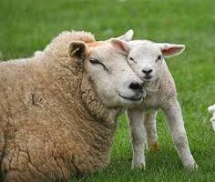 Bildergebnis für sheep