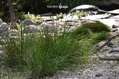 ruohosipuli - puutarhan koriste