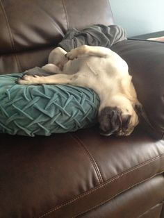 Polly clearly found the most comfortable position possible for her afternoon nap. rough life for a pug