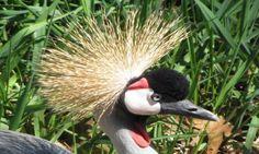 Bird 5x7 photo Grey Crowned Crane by ShawnelizaCreations on Etsy, $15.00