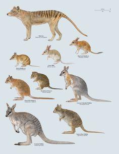 Recently Extinct Australian Marsupials
