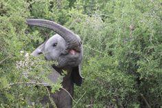 SOCIALTOURIST - Reiseland - Südafrika - Elefant - South Africa Elephant, Africa, Animals, Vacation, Animales, Animaux, Animal, Animais, Elephants