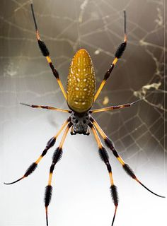 banana spider -we have one of these on our front porch - HUGE!