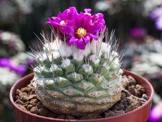 Strombocactus-pulcherrimus-PM-67-007-Las-Adjuntas-Gto.jpg