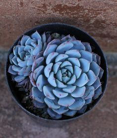 This listing is for 2 Echeveria Minima plants. The Echeveria Minima is native to Mexico. This succulent clusters profusely to form a small Small Succulent Plants, Blue Succulents, Types Of Succulents, Planting Succulents, Planting Flowers, Garden Cactus, Garden Plants, House Plants, Echeveria