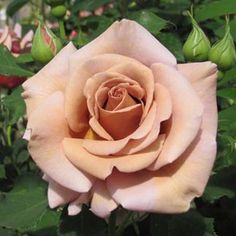 Koko Loco Rose bush-I have this rose