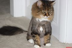 My Sisters Cat Had Knots On Her Fur So She Had To Be Shaved - http://cutecatshq.com/cats/my-sisters-cat-had-knots-on-her-fur-so-she-had-to-be-shaved/