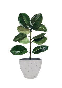 Image of Ficus
