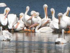 White Pelicans are often seen hanging around the beach in town--La Ronge, SK