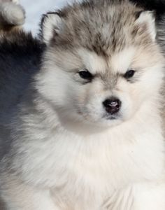 White Wolf : 15 Chubby Alaskan Malamute Puppies That Will Make You Smile Giant Alaskan Malamute, Alaskan Malamute Puppies, Malamute Husky, Husky Puppy, Alaskan Husky, Husky Puppies For Sale, Fluffy Puppies, Cute Puppies, Cute Dogs