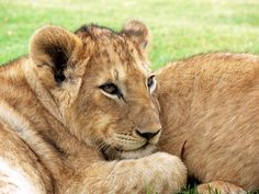 Free Photo: Lion, Lion Cub, Cub, Big Cat - Free Image on Pixabay - 275975