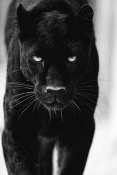 Panther Spirit Animal The panther spirit animal is powerful and protective. The panther symbolizes courage, valor and power. If the panther is your power animal, you are blessed with a fierce guardian. The panther is the Black Panther Cat, Black Panther Tattoo, Black Cats, Panther Tattoos, Black Animals, Animals And Pets, Cute Animals, Puma Animal Black, Wild Animals