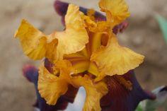 """Iris Supreme Sultan"""""""