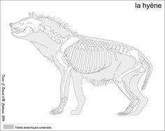 Crocuta crocuta, the spotted hyena
