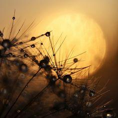 Dandelion I. by Mia Minor, via Behance