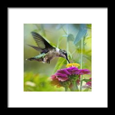 Sweet Success Hummingbird Square Framed Print By Christina Rollo