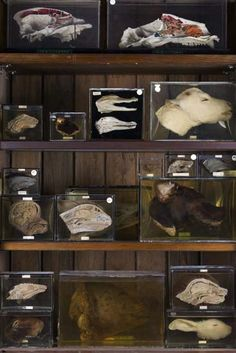 Negus collection of bisected heads, UCL Grant Museum