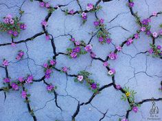 Check out this amazing photography series by photographer Guy Tal. The Good Badlands in full bloom. Beautiful desert flowers on BohemianDiesel. Desert Flowers, Colorful Flowers, Wild Flowers, Beautiful Flowers, Flowers Nature, Purple Flowers, Beautiful Images, Romantic Flowers, Blooming Flowers