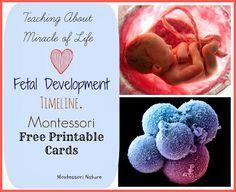 Fetal Development Timeline - Montessori Free Printable Cards from Montessori Nature