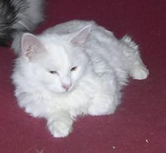 White Maine Coon Cat  ~