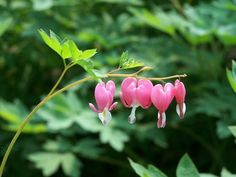 Here are a few bleeding heart plant care secrets, so you can grow and enjoy these adorable heart shaped flowers from spring till fall. Bleeding Heart Tattoo, Bleeding Heart Plant, Bleeding Hearts, Flowers Nature, Pink Flowers, Free Pictures, Free Images, Flowers Perennials, Plant Care
