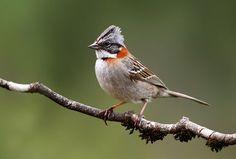 Un simple chincol Small Birds, Colorful Birds, Little Birds, Pretty Birds, Love Birds, Beautiful Birds, Animals And Pets, Cute Animals, Brown Bird