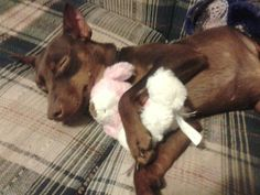Min pin and baby Mini Pinscher, Miniature Pinscher, Min Pins, Maggie Mae, Doggies, Cute Animals, Puppies, Chocolate, Pets