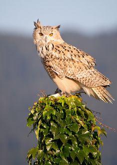 Amazing Animals, Gramm, Owl, Horned Owl, Villach, Eagles, Road Trip Destinations, Owls