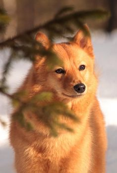Finnish Spitz, needs a balanced time of outdoor and indoor play. #DogBreeds