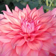 Giant Dinner Plate Dahlia, 'Bonaventura' - one of my most fav flowers! <3