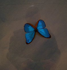 Butterfly as Bow Tie. by buddha is