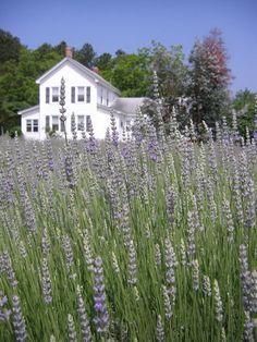Harbinger Lavender Farm, North Carolina.