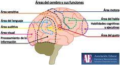 Ilustración Neurociencias: Áreas del cerebro y sus funciones - Asociación Educar -   Ciencias y Neurociencias aplicadas al Desarrollo Humano -   www.asociacioneducar.com
