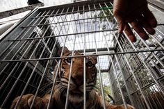 More Controversy for Tiger Temple