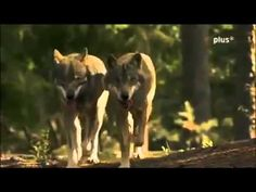 EVOLUTION DER HUNDE   Wie Hunde die Welt verändern DOKU