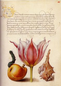 In the 1500s, illuminator Joris Hoefnagel rendered flowers and plants with a botanical precision unmatched in his day. It's tempting to imagine each of Hoefnagel's natural wonders growing in the gardens cultivated at the imperial court of Rudolf II, his patron. Pages from Mira Calligraphiae Monumenta, one of the Getty's most precious (and, at 6 9/16 inches high, tiniest) manuscripts. Unidentifiable caterpillar, common pear, tulip pink - bordered white, purple snail.