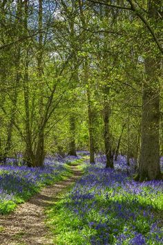 Photographic Print: Bluebell woods, Surrey, England, UK by Jon Arnold : Cool Landscapes, Beautiful Landscapes, Landscape Paintings, Wooded Landscaping, Wooded Backyard Landscape, Natural Landscaping, Summer Landscape, Landscape Photography, Nature Photography